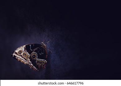 Big tropical butterfly owl or peacock eye on a dark abstract background. Concept exhibition of butterflies.