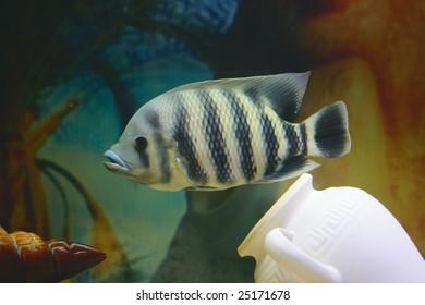 Big tropical fish in aquarium (close-up photo)