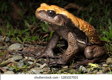 big tropical rain forest toad, Rhaebo blombergi from the tropical jungle of Colombia. An endangered species in need of nature conservation.
