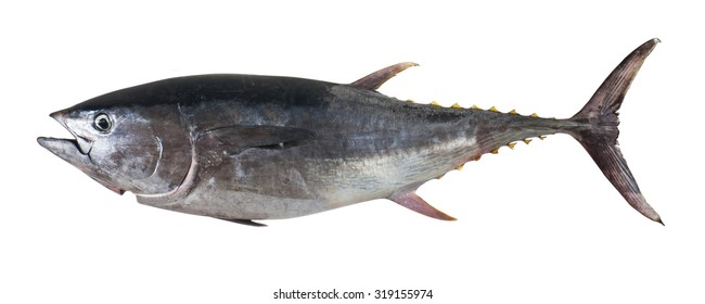 Big tuna fish isolated on white background
