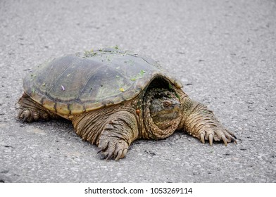 Big turtle crossing an asphalt road. Ontario, Canada