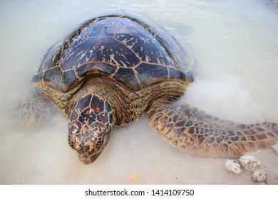 Big Turtle in Efate, Vanuatu, Oceania