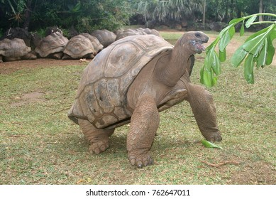 big turtle at the mauritius botanical garden