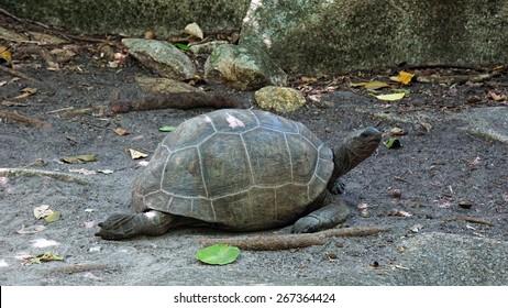big turtle on curieuse island
