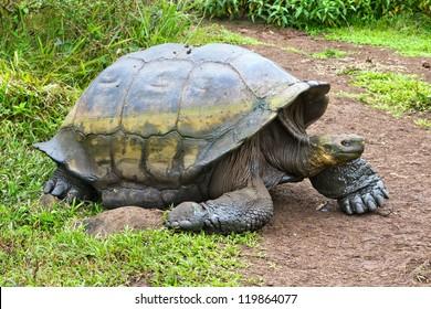 Big turtle on galapagos islands