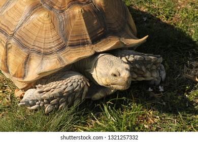 Big turtle pan the grass.