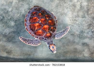 Big turtle in the pool