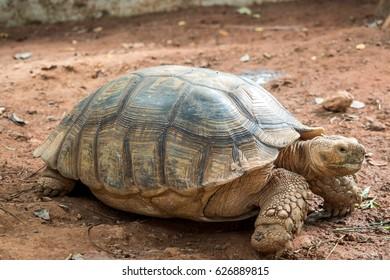 big turtle walks slowly on the ground