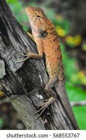 Big Typical Orange Lizard on the Wood in Vietnam