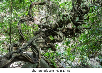 Big vine in forest.