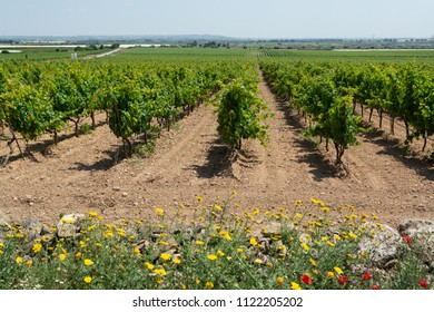 Big vineyards with rows of wine grapes plants in great wine region of South Italy Apulia