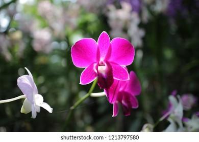 big violet orchid