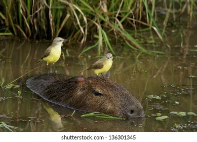 big water pig and mockingbirds - argentina