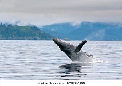 A big whale breaching in the Alaskan ocean near Seward with water splash