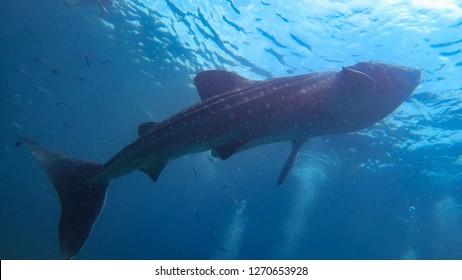 Big whale shark near Sebu