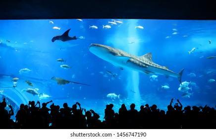 Big whale shark swimming in the churaumi aquarium