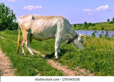 Big white beautiful horned cow grazes on a green juicy meadow on a sunny spring-summer day, side view. Dairy cattle eats grass in the pasture. Animal closeup