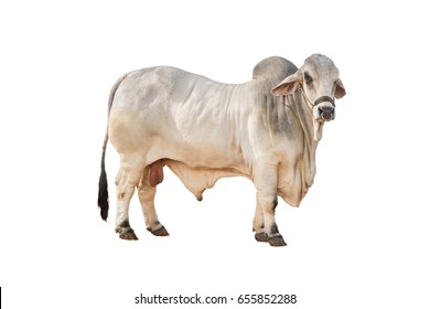 Big White brahman cow isolate on white background,this has clipping path