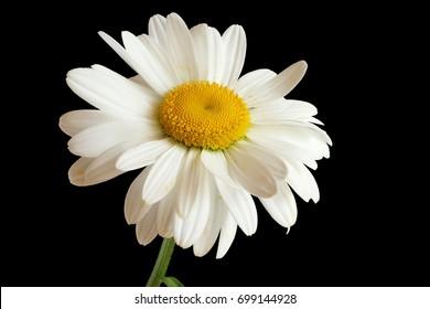Royalty Free Fleur Blanche Sur Fond Noir Images Stock Photos