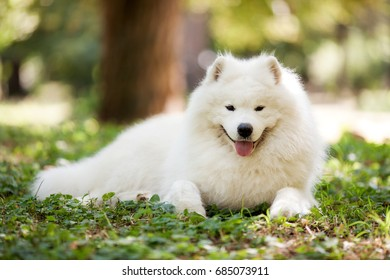 Big white dog with fluffy hair of samoyed breed, lying on the green grass outdoors in a park on a sunny summer day