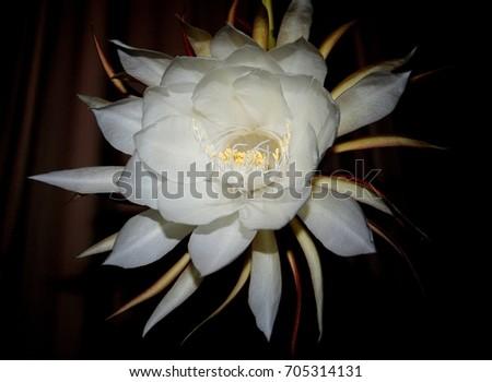 Big white flower queen night epiphyllum stock photo edit now big white flower of queen of the night epiphyllum oxypetalum nocturnal very fragrant mightylinksfo