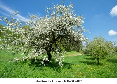 a big white fruit tree, blooming in the spring