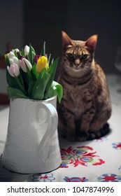 big white glass vase with a handle on a table, full of yellow, pink and white fresh tulips, on a white table cloth, with a beautiful brown ocicat  cat sitting behind