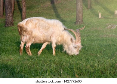 A big white goat with huge horns eats grass among the trees. Goat - a profitable business. This is meat, milk, wool and fluff.