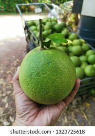 Grapefruit,Pomelo name Big white grapefruit varieties sell in the market.Hand pick up ripeGrapefruit At Amphawa District Samut Songkhram.The ripe fruit has a sour taste,Make a juice drink.