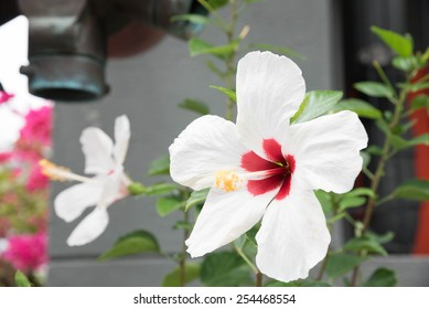 big white hibiscus with green leaf