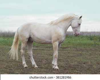 big white horse stands on the field on a background gray sky