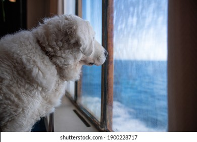 Big white Kuvasz dog looking at the sea from behind the window of a ferry boat
