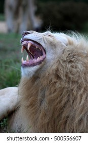 A big white male lion showing his teeth in this photo taken on safari in Africa.