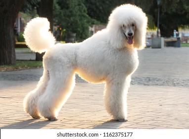 big white poodle