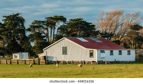 Big white shearing shed with a few New Zealand sheep around it.