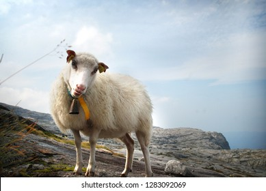 Big white sheep in northern highlands. Sheep stands on the rocky  wasteland with blue sky on the background. Kjerag. Norway.