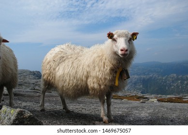 Big white sheep in northern highlands. Sheep stands on the rocks of the fjord  with blue sky on the background. Kjerag. Norway