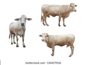 Big white Tak breed cow in Thailand isolate on white background