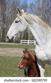 Big white warmblood horse with pony friend