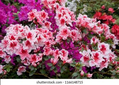 Big white-pink azalea bush or rhododendron in garden. Season of flowering azaleas (rhododendron). Colorful purple red azalea flowers in Japan park. Beautiful flowering azalea shrub is highly toxic