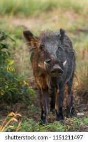 Big wild boar sniffing