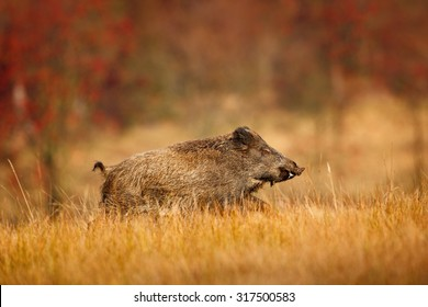 Big Wild boar, Sus scrofa, running on the grassy meadow, red autumn forest in background.