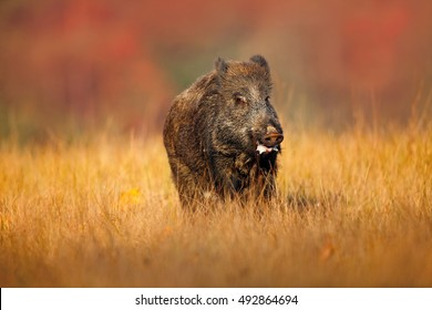 Big Wild boar, Sus scrofa, running n the grassy meadow, red autumn forest in background.