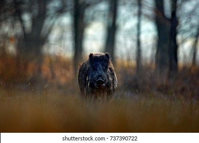 Big Wild boar, Sus scrofa, running on grassy meadow, red autumn forest in background. Wildlife scene from nature.