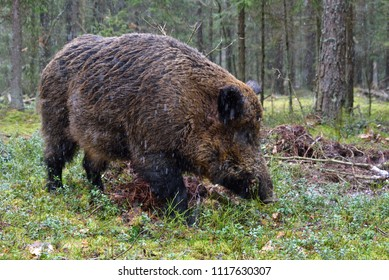 Big wild boar walking in a green forest