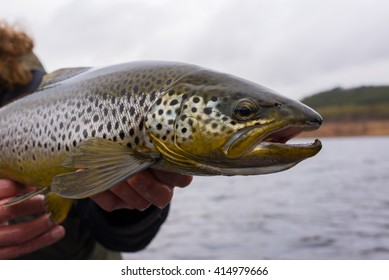 Big wild brown trout just caught on  fisherman's hands before release