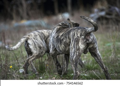 Big wild dogs with prey, from behind
