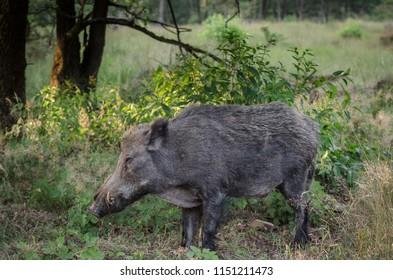 Big wildboar male