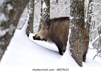 A big wildboar (Sus scrofa) walking in the immaculate, intact snow. Rocca De' Giorgi, Oltrepo Pavese, Italy.