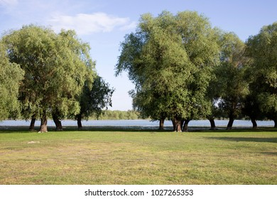Big willow trees in the meadow. The river is located behind the trees.